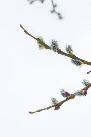 In the spring the willow tree bloomed in the garden and the snow fell