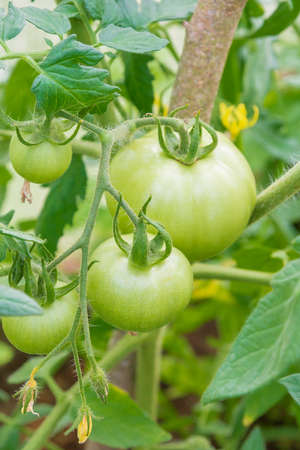 Small green tomatoes ripen in the greenhouse in summer