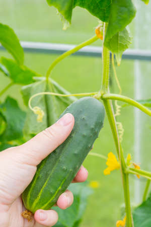 Woman's hand removes a cucumber from a branch in the greenhouse Banco de Imagens