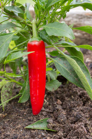 Red delicious sweet pepper grows in the garden in the summer Banco de Imagens