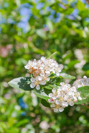 White flowers of a flowering Bush of black-fruited mountain ash in summer