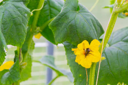 A bee pollinates a yellow flower on a branch with cucumbers in a greenhouse
