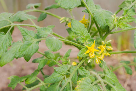 Yellow flowers of a tomato plant is ripening in the greenhouse