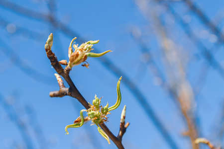Buds bloom in spring on a pear tree in the garden Banco de Imagens