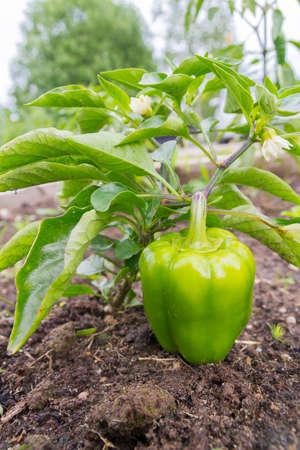 Green delicious sweet pepper grows in the garden in the summer Banco de Imagens