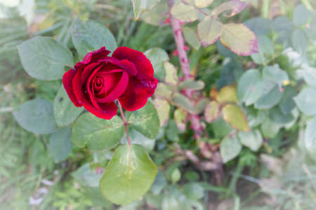 Red rose in the dew grows in the garden in summer