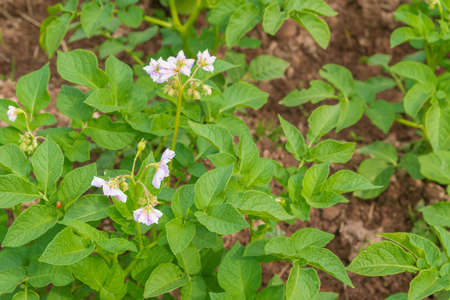 Potato blooms with white flowers on the beds in summer