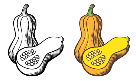 Illustration of butternut squash. Outline and colored version. Isolated on white