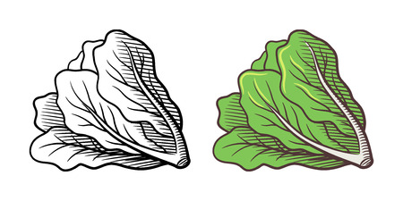 Stylized illustration of lettuce.  isolated on white. Outline and colored version
