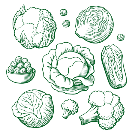 broccoli sprouts: Set of stylized outline vector vegetables. Cabbage, cauliflower, broccoli, chinese cabbage, brussels sprouts