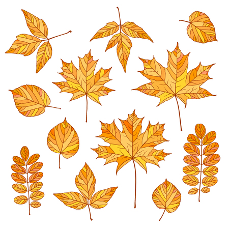 wattle: Set of vector autumn leaves. Maple, linden, acacia, acer