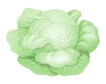 White cabbage. Realistic vector illustration. Isolated on white Illustration