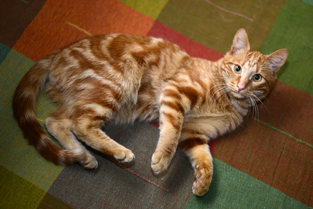 Red striped cat lies down on motley blanket. View from above Stock Photo