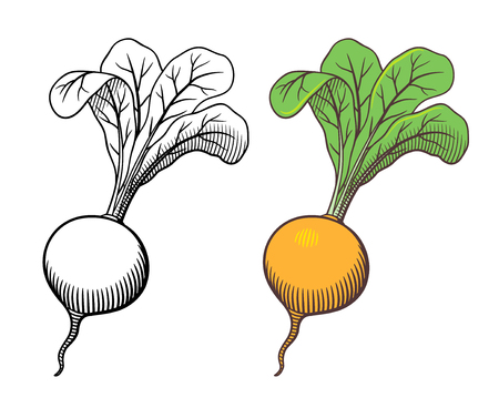 Vector hand drawn illustration of turnip with leaves. Outline and colored version Illustration