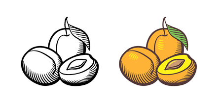 Hand drawn vector illustration of apricots. Apricot fruits with leaf, cross section and kernel. Outline and colored version Ilustracja