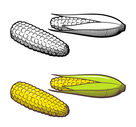 Hand drawn vector illustration of corn. Outline and colored version. Isolated on white