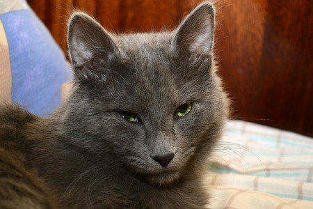 Close up image of a nebelung cat. Strict looking kitten portrait