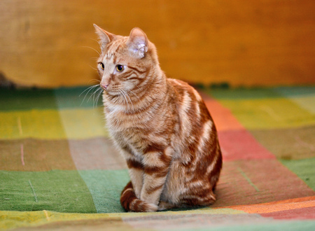 Red tabby cat sitting on a blanket