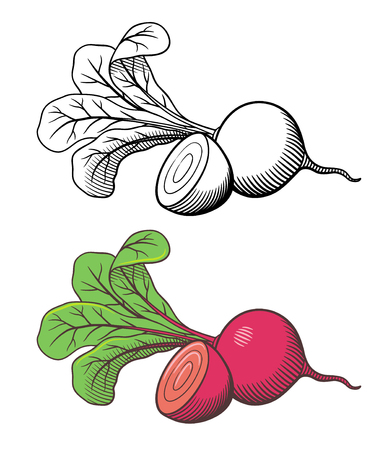 Vector hand drawn stylized illustration of beetroot. Whole vegetable with top and cross section. Outline and colored version