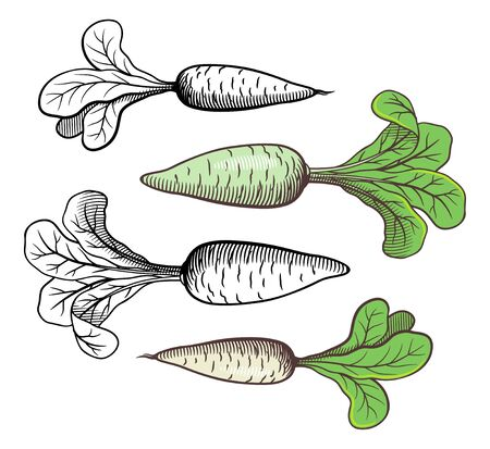 Stylized retro style illustration of radishes. Outline and colored. Vector image, isolated on white background