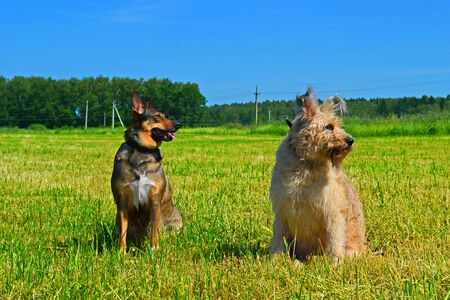 Two dogs sitting on a grass in a green field. Late summer