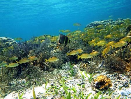 Coral and fish in Bocas del Toro, caribbean sea, Panama photo