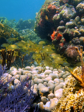 reefscape: Coral and tropical fish in the caribbean sea, Mayan Riviera, Mexico