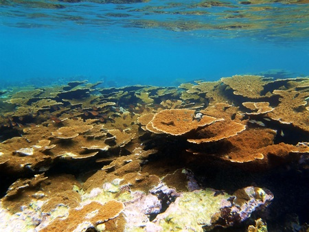 acropora: Coral reef with water surface in Bocas del Toro Stock Photo