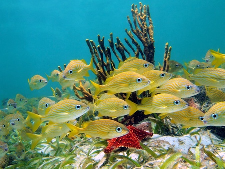Shoal of french grunt tropical fish with a sea star and a gorgon in the caribbean sea, Bocas del Toro, Panama photo