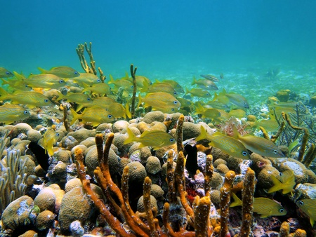 Coral and french grunt fish in the caribbean sea, Panama photo