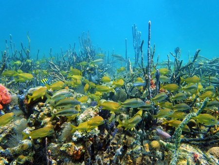 Coral and grunt fish in the caribbean sea, Costa Rica photo