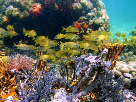 Coral, sponges and school of french grunt fish in the caribbean sea, Costa Rica photo