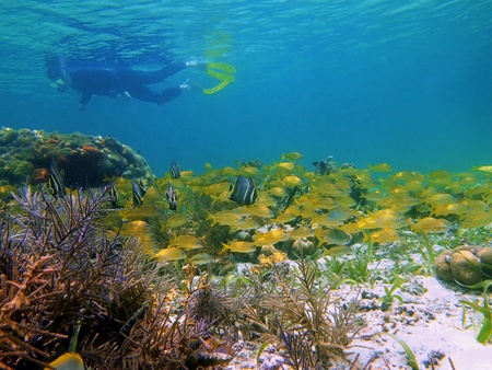 reefscape: Snorkeling with school of tropical fish in the caribbean sea, Costa Rica