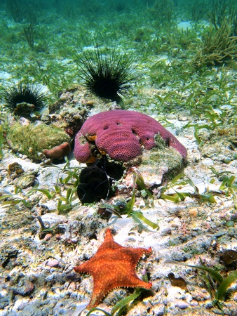 pilluelo: Estrella de mar con corales y erizos en el mar Caribe, Panam� Foto de archivo