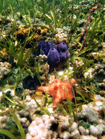 reefscape: Starfish and colorful sea sponges in the coral of  the caribbean sea, Bocas del Toro, Panama