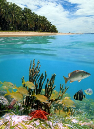 Surface and underwater view with colorful tropical fish, starfish, beach and coconuts trees, Caribbean, Costa Rica