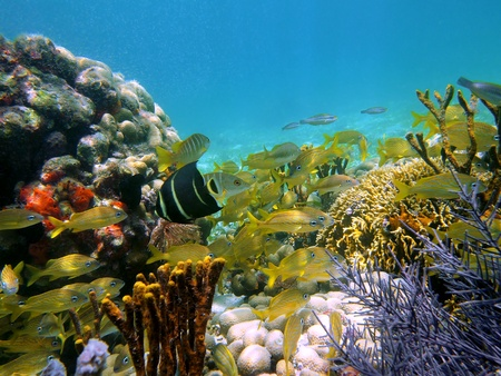 grunt: Underwater view with school of tropical fish, corals and gorgonian in the caribbean sea