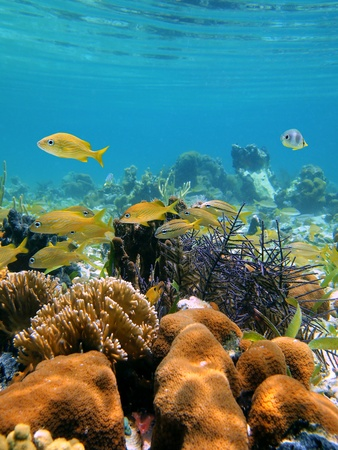 under the surface: Corals with water surface and school of French grunt fish in the caribbean sea, Costa Rica Stock Photo