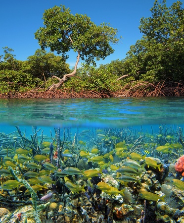 reefscape: Surface and underwater view in the mangrove of Bocas del Toro, Panama