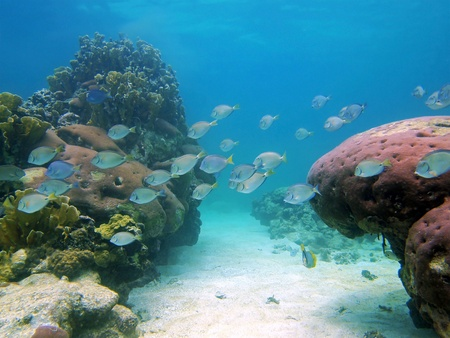 School of ocean surgeonfish and doctorfish in the coral reef photo