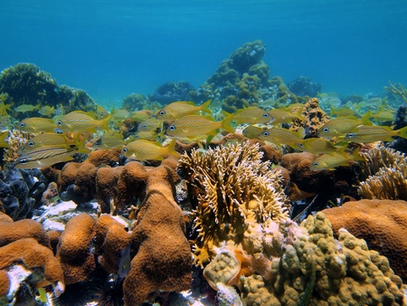 Coral and french grunt fish in the caribbean sea photo