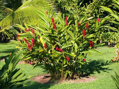 heliconia: Bouquet of heliconia in tropical garden