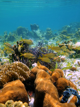 grunt: Coral and french grunt fish in the caribbean sea Stock Photo
