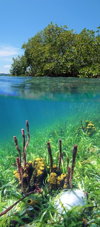 Surface and underwater view of mangrove and colorful sea sponges photo