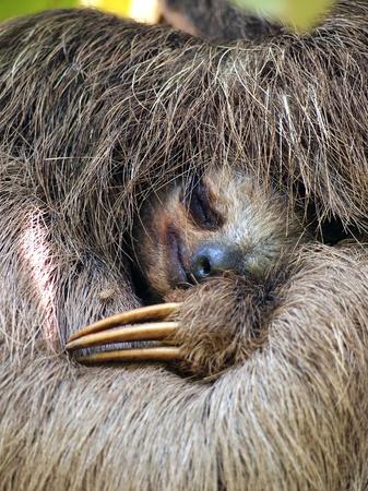 sloth: Cerrar vista de perezoso Rosa marr�n durmiendo, Costa Rica