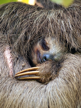 Close up view of Brown throated sloth sleeping,  Costa Rica Stock Photo