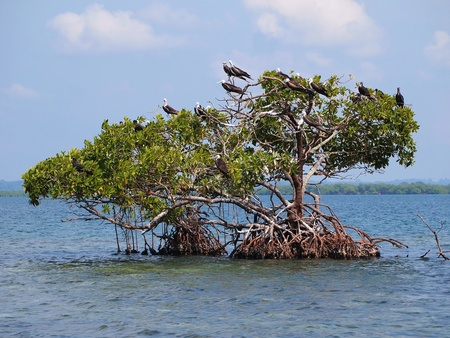 mangrove: Small mangrove islands with frigate seabirds in Bocas del Toro