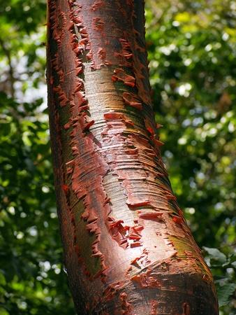 limbo: Gumbo-limbo tree with red bark and peeling