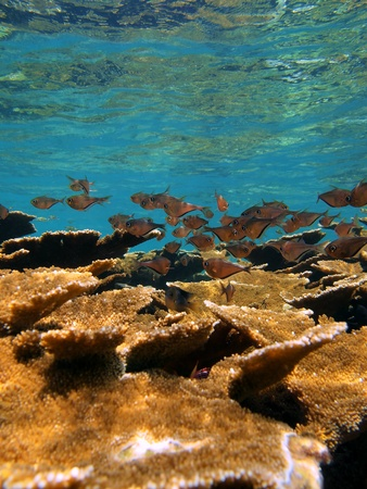 elkhorn coral: Elkhorn coral reef with school of Glassy sweeper fish, Caribbean, Bocas del Toro, Panama