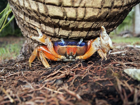 blue crab: Close-up view of Mangrove crab under coconut tree